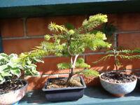Very pretty Bonsai Pinus Pinea