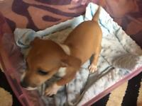 Jackrussel chihuahua puppies