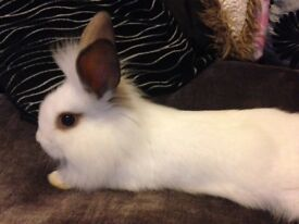 4 lionheads cross old English spot rabbits ready for sale
