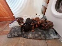 Standard short haired Dachshund puppies,