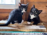 Black and Black and white kittens for sale