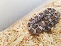 Cornsnake for sale