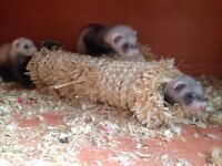 8 Baby Ferrets for Sale