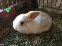 Mini Lop rabbits £25