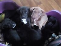 Staffy/Labradoodle puppies for Sale