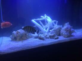 Cichlid and rock