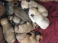 Outstanding kc registered bullmastiff puppies