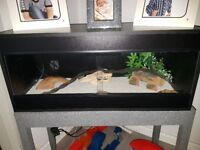 2x leopard geckos about a year old ,3ft viv and accessories ,