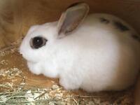 Dwarf girl rabbit for sale