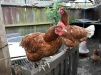 5 laying hens for sale