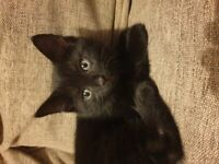 2 beautiful black tabby kittens reserved now!