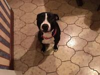Female black and white staffie pup, 15 months old.