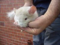 Baby Chinchilla Homozygous Beige