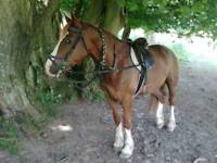 Horse and pony for loan