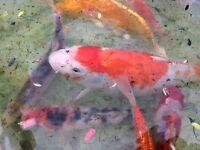 Pond fish Koi Carp mix