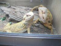Bearded dragons x 2 female must go together, includes full set up 4f t vivarium
