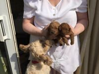 Cavapoo girl pups for sale