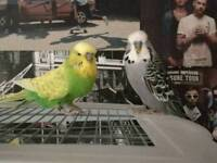 Budgies for loving home