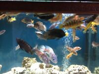 Cichlids and pleas for sale