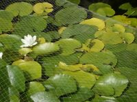 Large Water Lilies & Pond Liner