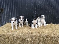 Only 3 beautiful border collie pups left for sale
