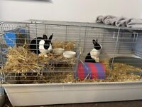 Pair of Rabbits for sale