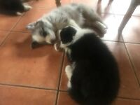 2 Black and White Border Collie Puppies