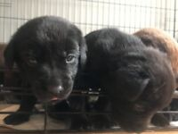 Labradors puppies for sale