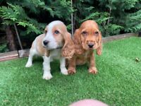 Fully DNA health tested Cocker Spaniel puppies.