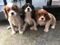 Cavalier king charles puppys
