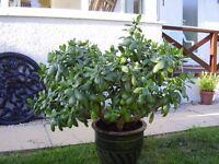 Mature Money Plant in pot.