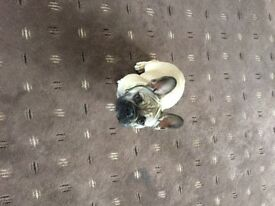 French bull dog male 6 months old