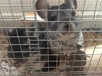 2 Female chinchillas + cage , open to offers