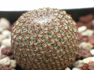 ariocarpus agavoides cactus 10 seeds rare korn graines samen Neogomesia