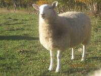 Ewe Lambs - North Country Cheviot crosses