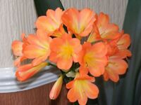 clivia plants in 3 sizes