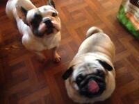French bulldog and pug looking for new home.
