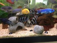 Fish for sale. Frontosa group of 3 cichlids. Lake Tanganyika. Excellent health. Bargain