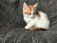 Playful fluffy male kitten trained flead eats dry & wet food ready to go