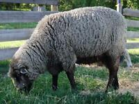 Proven 2 year old Romeldale ram