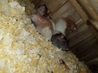 4 female rats with cage