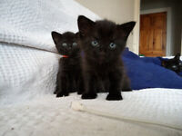 Beautiful Black Kittens for sale