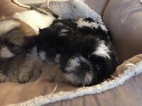 Shih Tzu pups for sale