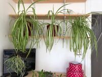 Indoor spider plant, easy to grow, low maintenance