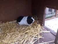 Guinea pig & hutch