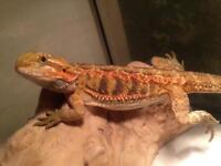 6months old sandfire red bearded dragon