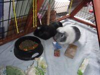 2 female Guinea Pigs and hutch