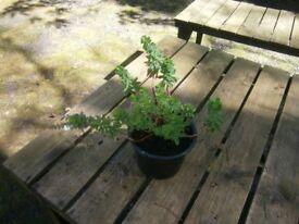 EUPHORBIA PERENNIAL GARDEN/PATIO PLANT