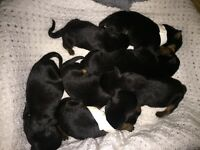 I have 2 male rottweilers still avaliable
