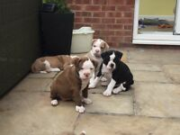 QUALITY ALAPAHA BLUE BULLDOG PUPPIES